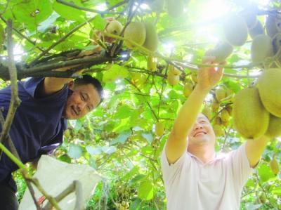 富硒猕猴桃帮助农民发家致富