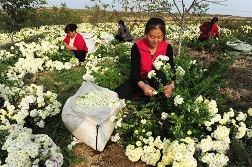 山西闻喜县600余亩杭白菊喜获丰收