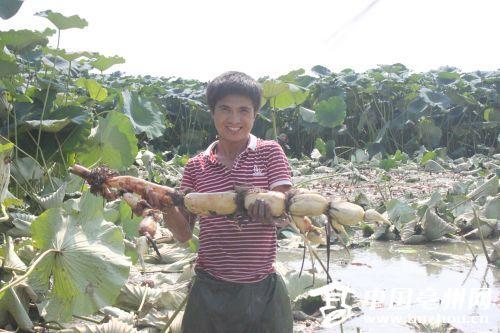 安徽亳州村民返乡种植莲藕带领村民共致富