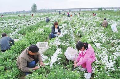河南方城县:千亩菊花齐绽放 农民采摘忙