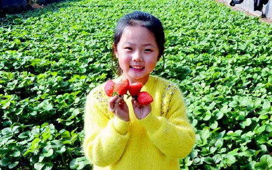 山东即墨区金口镇60余亩草莓大丰收