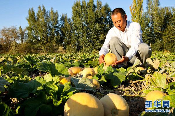 甘肃张掖:万亩阿根廷奶油南瓜获丰收