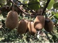 贵州修文:一个猕猴桃