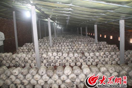 蘑菇 无棣县 山东/张山子村蘑菇大棚内景