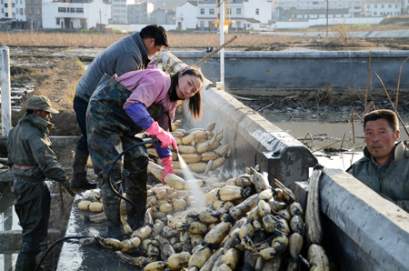 湖北/图为宜城挖藕师傅正在藕田开挖莲藕。