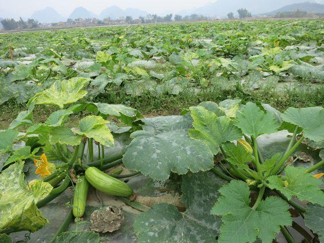 """广西 忻城县/覃老板介绍说,""""西葫芦是公认的保健食品,亩产量在7500公斤..."""