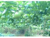 广西 湖北 随州/广西北流市清水口镇农民种