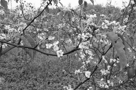 当地专家介绍,梨树在秋季开花的原因主要有两种:其一,前期病虫防治不