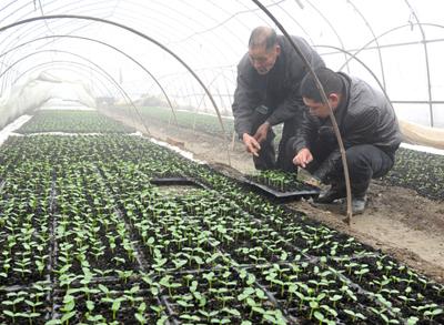 种菜大户的春节:蔬菜大棚里忙育苗
